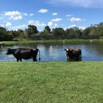 Cows in the pond
